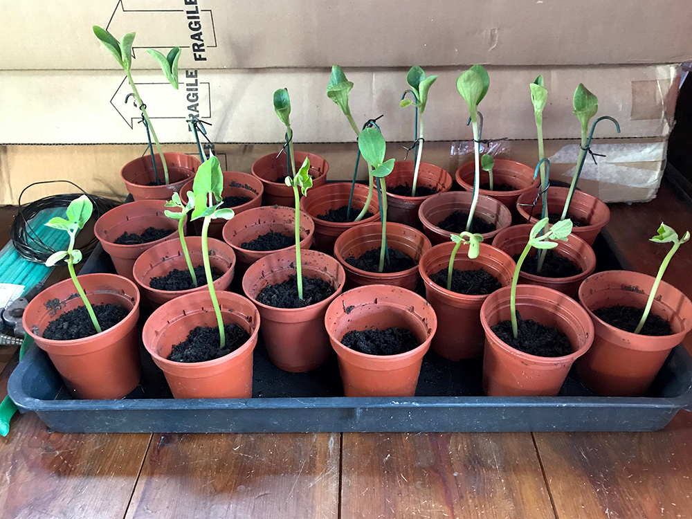 courgette, dwarf beans, seedlings, plants
