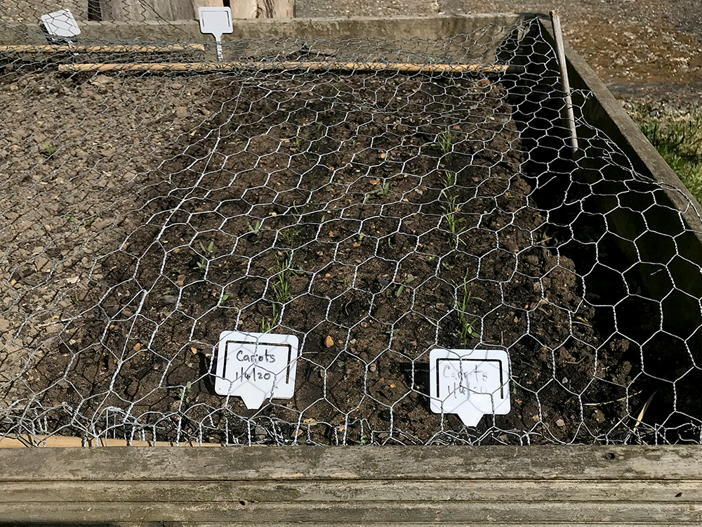 carrots, seedlings, sown, appearing,