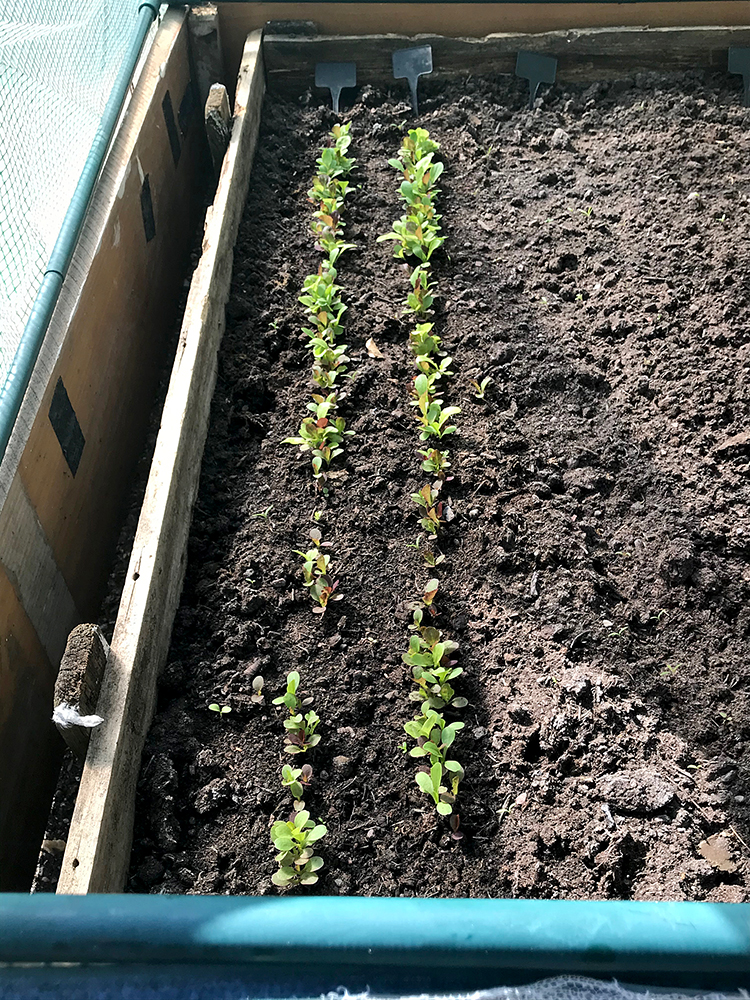salad leaves, seedlings, sown,