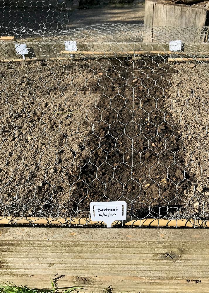 beetroot, planted, seeds, vegetables,
