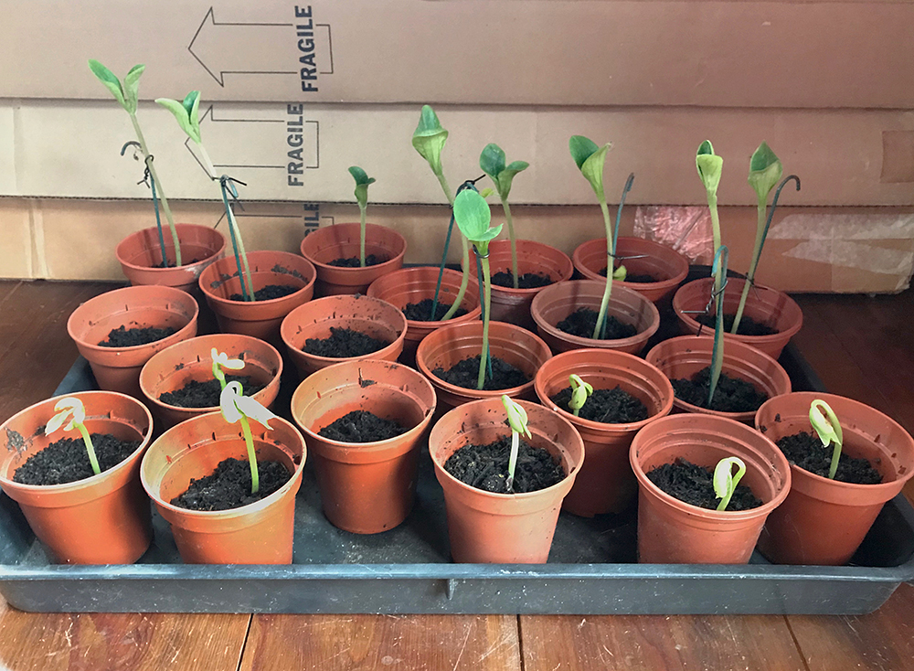 courgette, dwarf beans, seedlings
