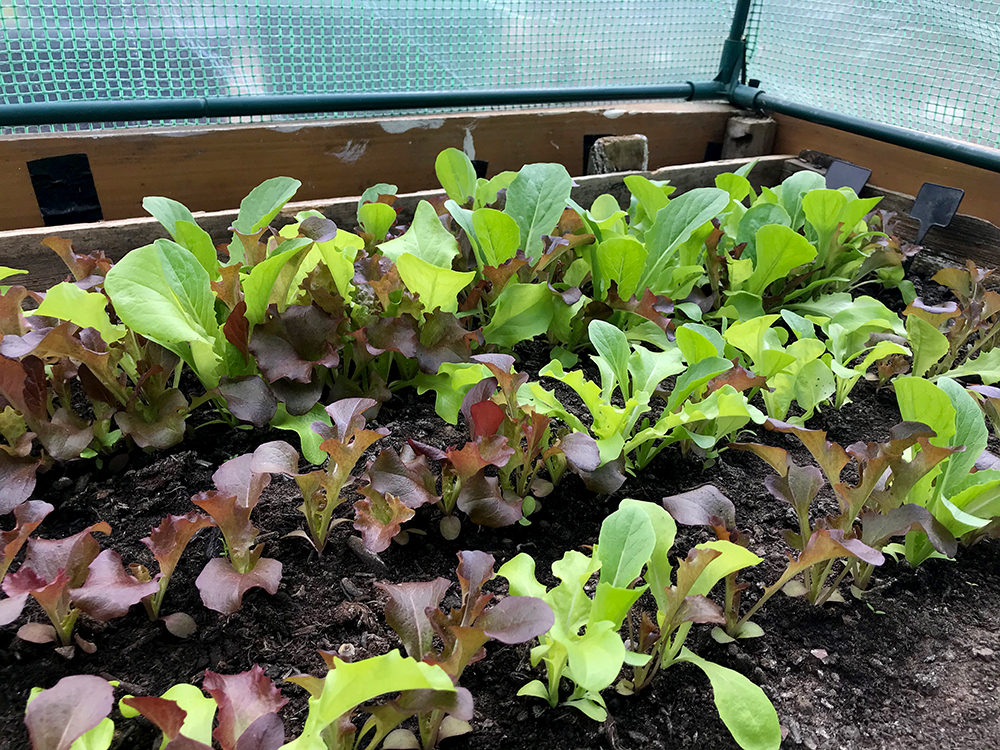 salad leaves, lettuce, vegetables, harvest
