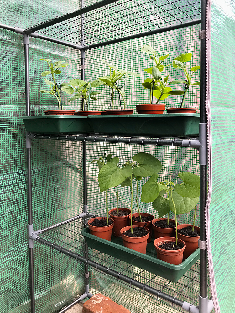 greenhouse, courgettes, beans, grow your own,