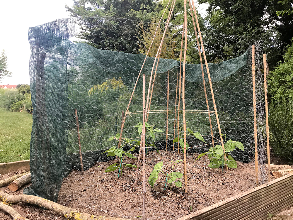 beans, stakes, dwarf, mesh, protection