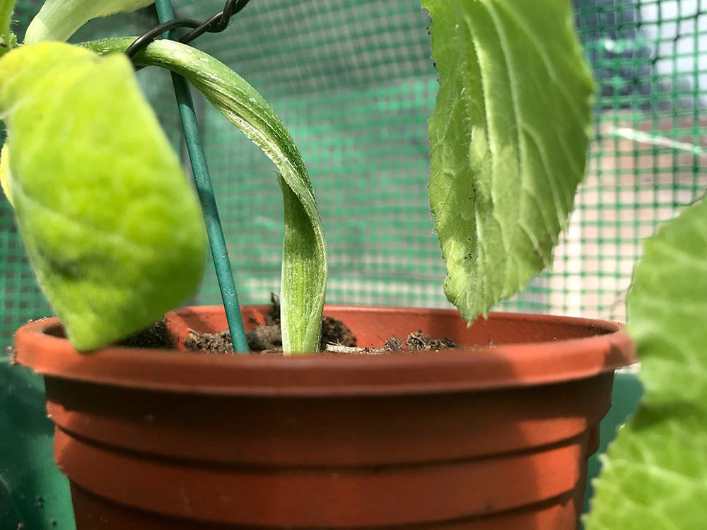 courgette, stem, vegetables, split
