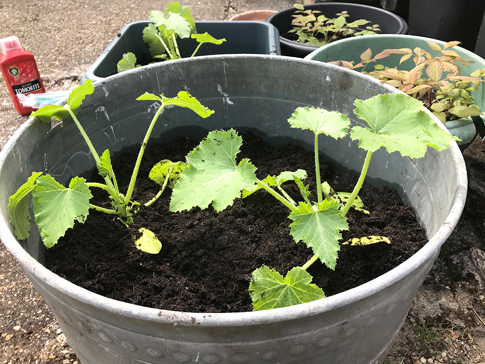 courgette, vegetables, grow your own