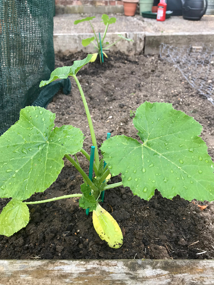 courgette, vegetables, grow your own,