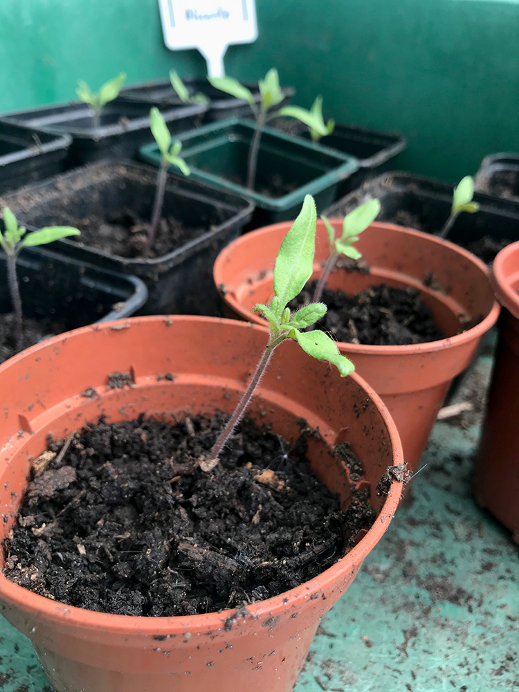 tomato, seedlings, vegetables, grow your own,