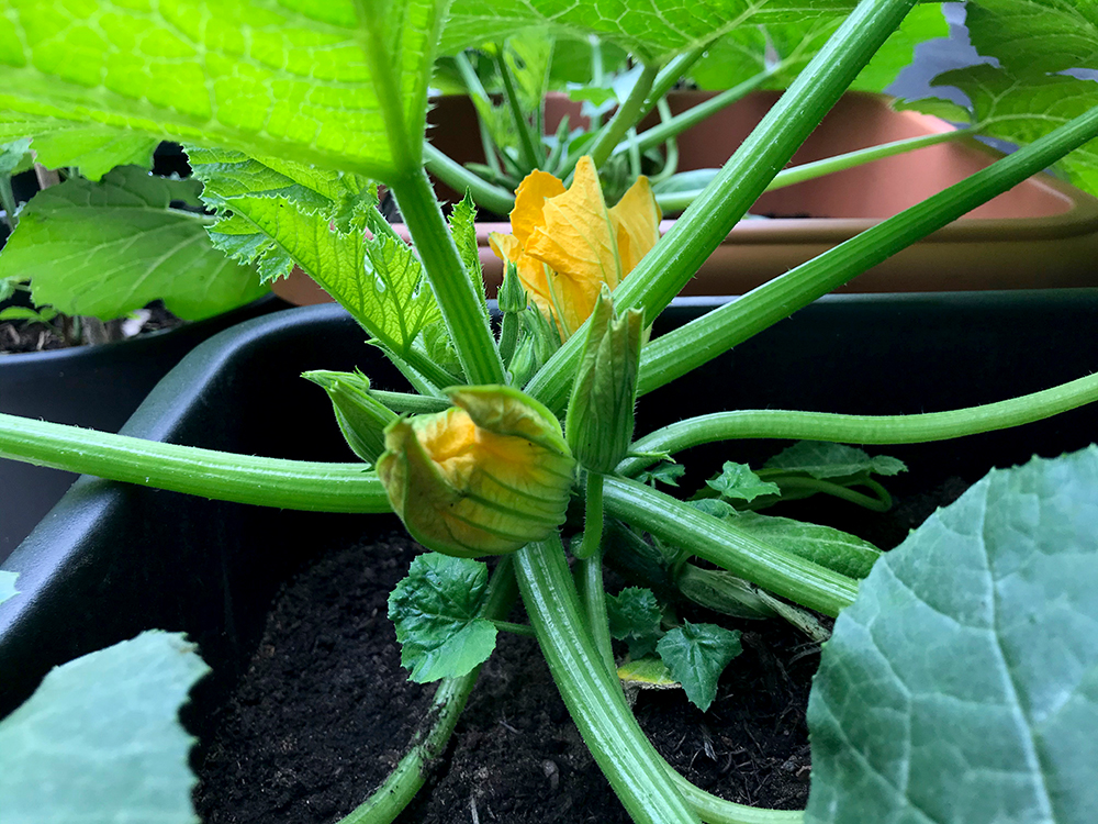 courgette, flowers, vegetables, home grown,