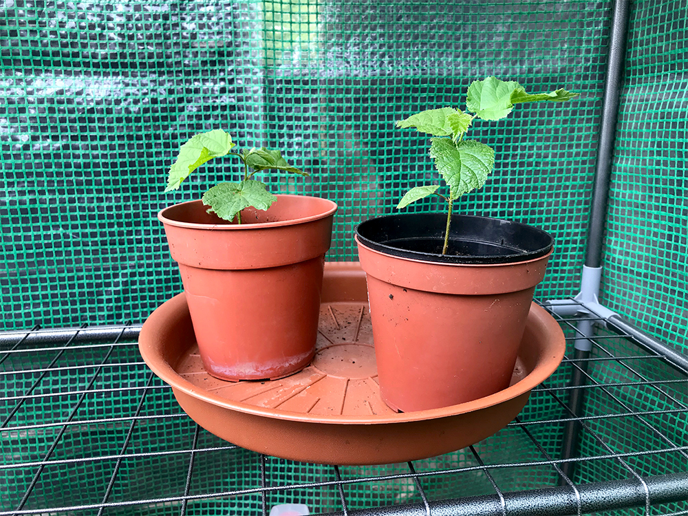 Hazelnut plants, home grown, potted