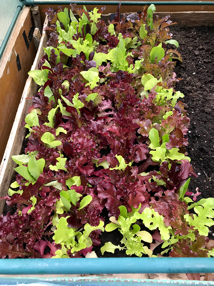 salad leaves, vegetables, home grown