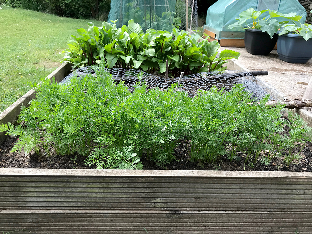 Carrots, foliage, vegetables, home grown