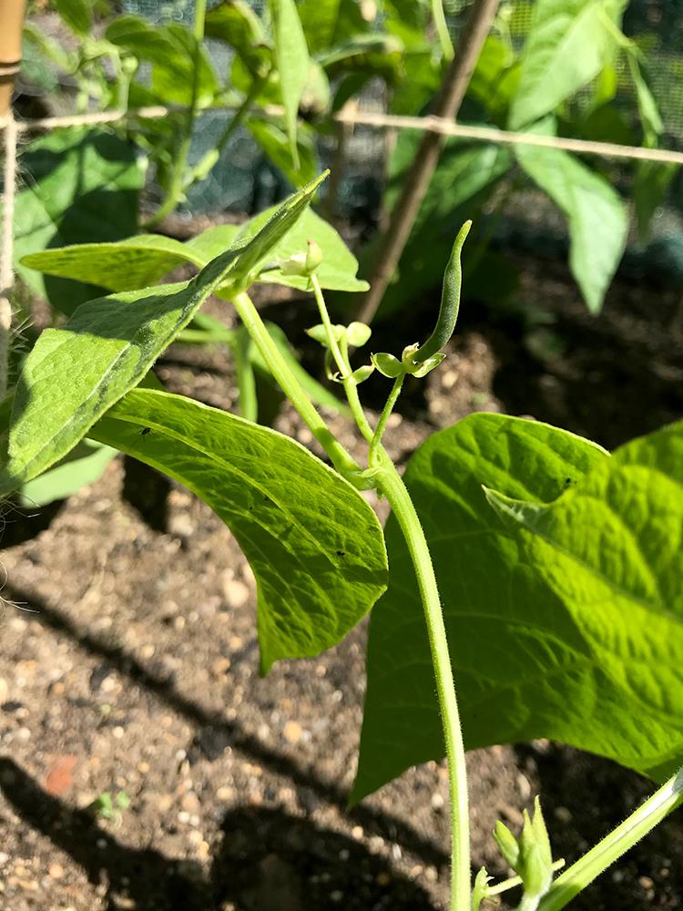 dwarf beans, vegetables, home grown
