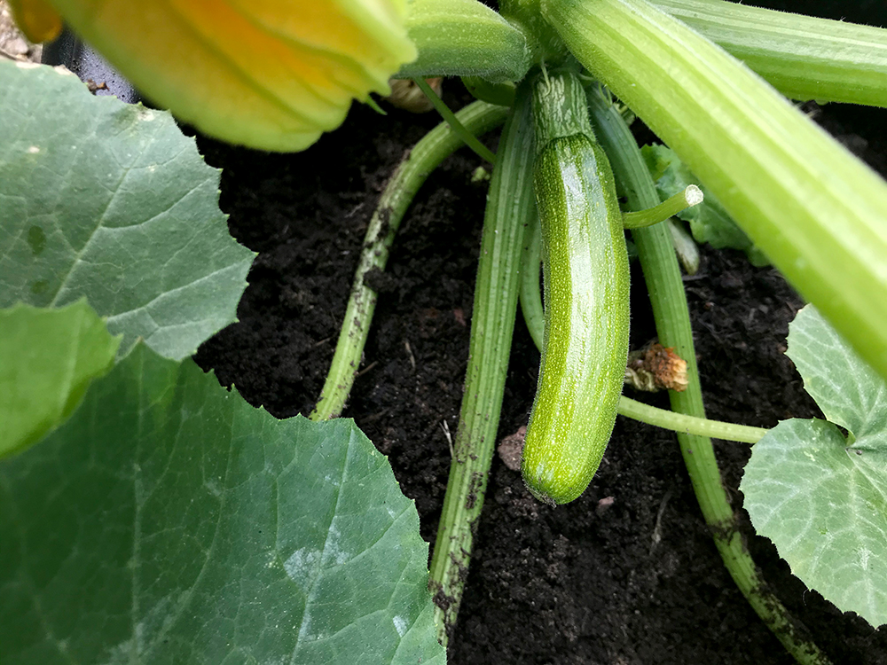 Courgette, vegetable, home grown