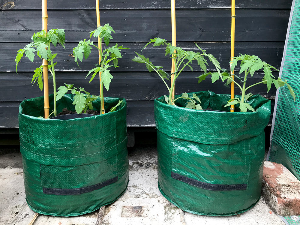 Tomato plants, grow bags, home grown, vegetables