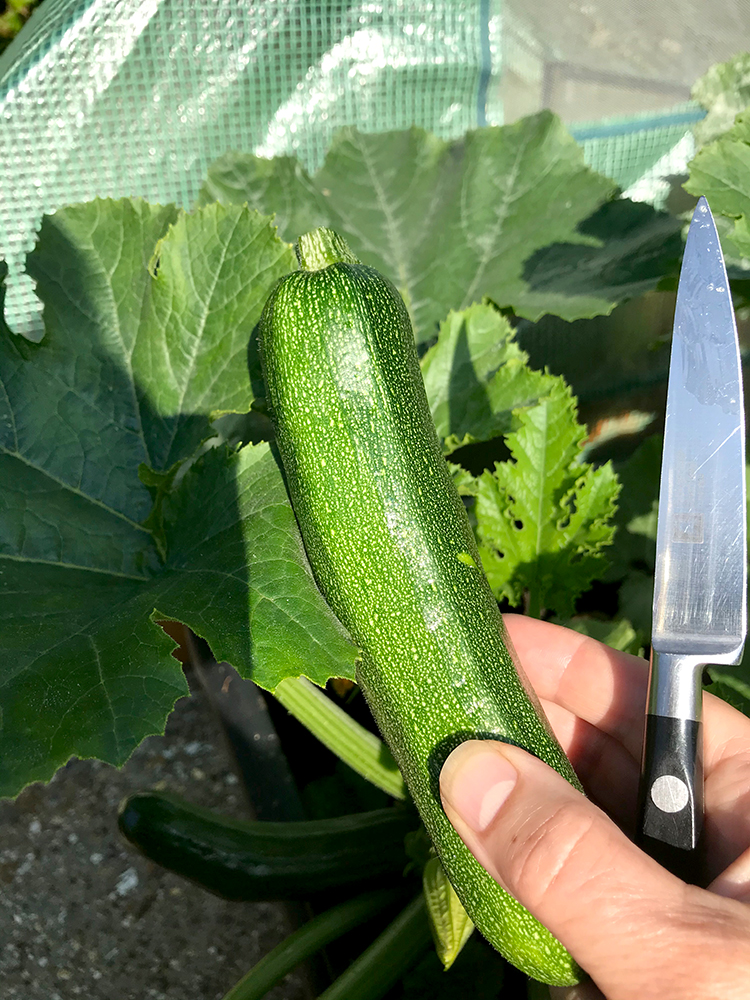 courgette, vegetables, harvest, home grown