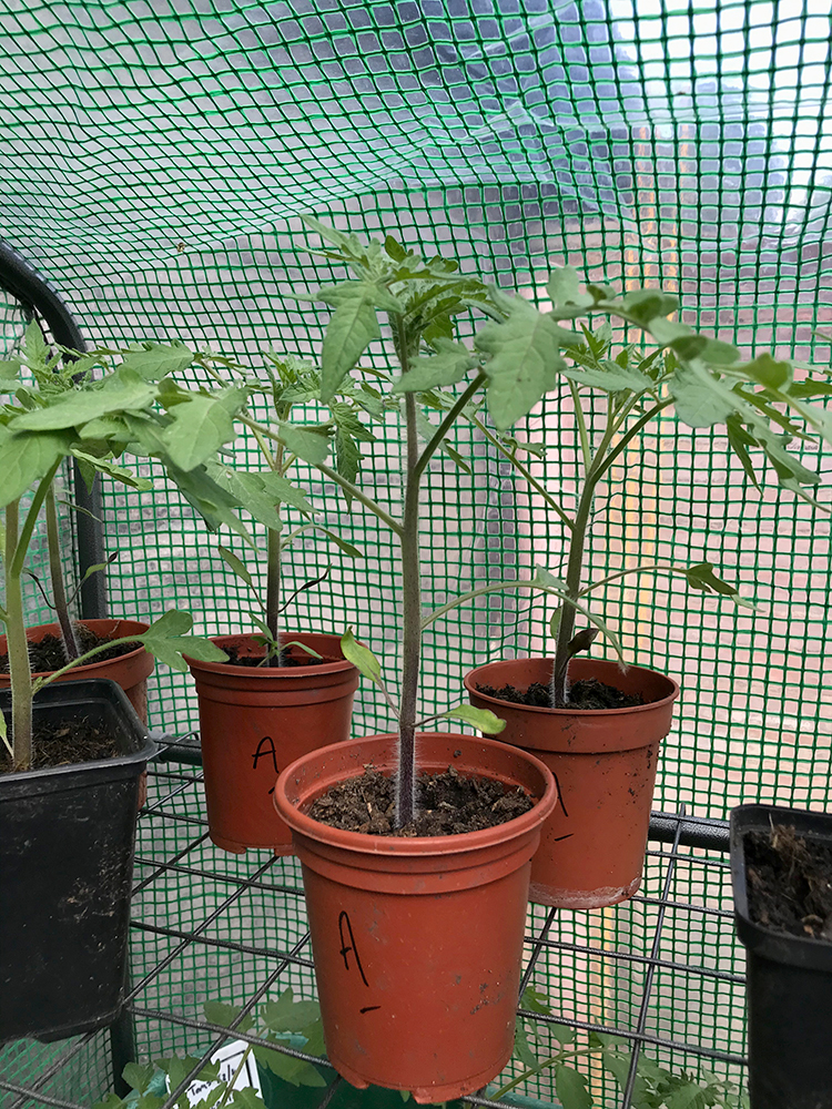 tomato plants, vegetables, home grown